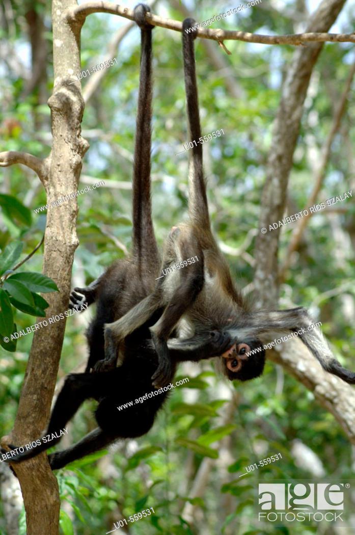 Stock Photo: Black handed Spider Monkeys (Ateles geoffroyi), Mexico.