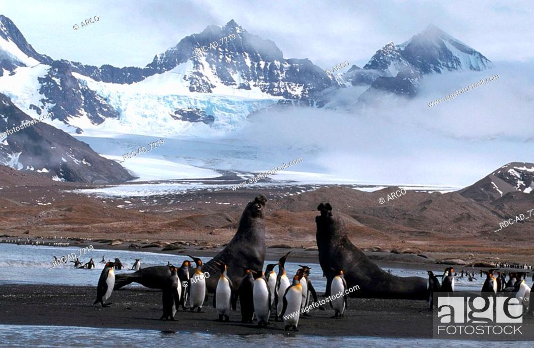 Stock Photo: King Penguins and Southern Elephant Seals bulls fighting St Andrews Bay South Georgia Aptenodytes patagonica + Mirounga leonina.