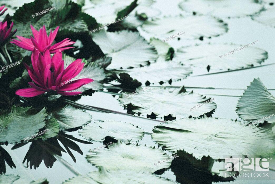 Imagen: Lotus Flower in Tea Stall Park, Fuzhou City, Fujian Province of People's Republic of China.