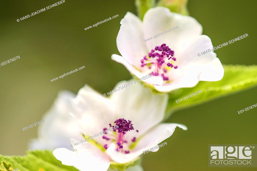 Imagen: Medicinal plant marsh-mallow with flower in summer.
