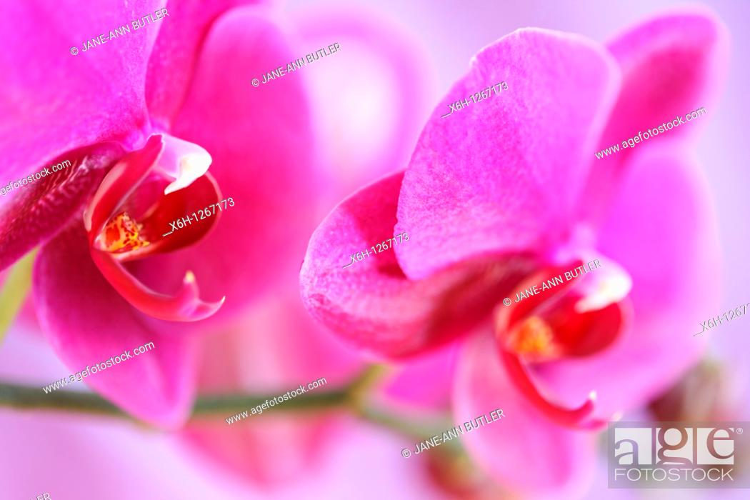 Stock Photo: Bold Pink Moth Orchid Stem.
