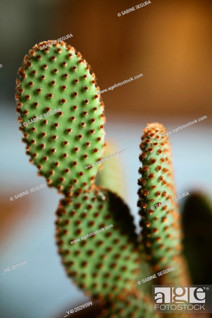 Imagen: Cinnamon Cactus Opuntia microdasys vari. rufida.