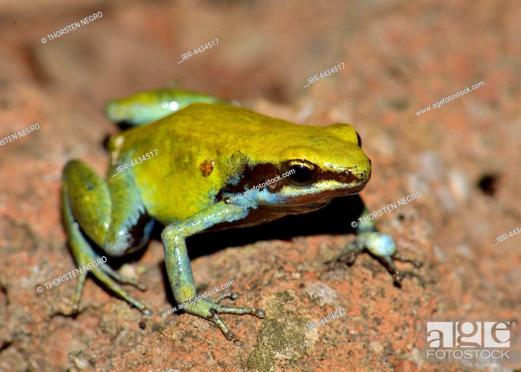Stock Photo: Green Mantella (Mantella viridis), dry forest, Nosy Hara National Park, northwest, Madagascar.