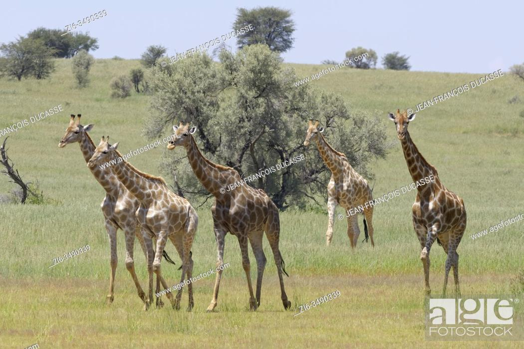 Stock Photo: South African giraffes (Giraffa camelopardalis giraffa), herd with young, walking in the grass, Kgalagadi Transfrontier Park, Northern Cape, South Africa.