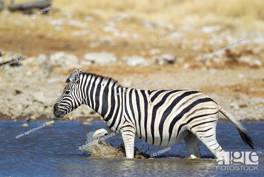 Stock Photo: Burchell's Zebra (Equus quagga burchelli) - At a waterhole. Etosha National Park, Namibia.