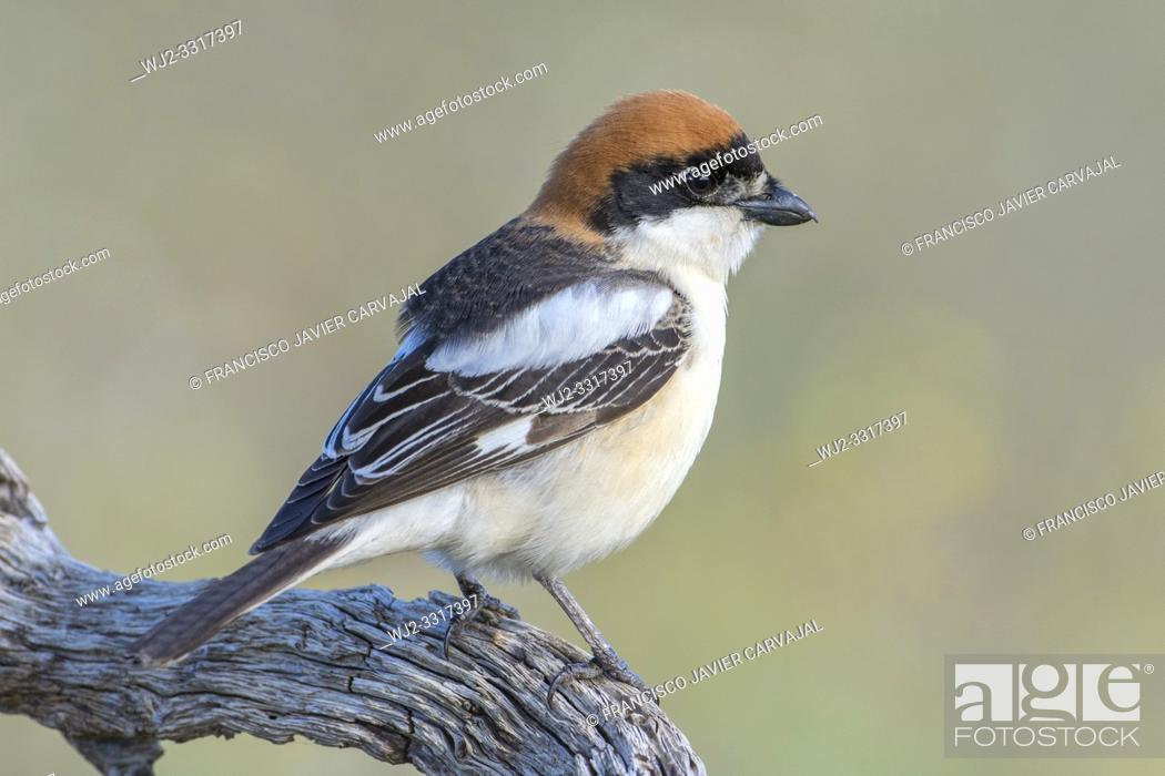 Stock Photo: Woodchat shrike (Lanius senator) from his watchtower in the meadow, Extremadura, Spain.