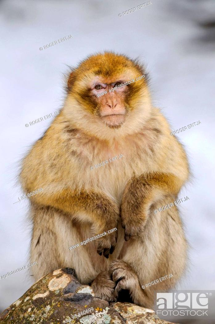 Stock Photo: Female Barbay Macaque (Macaca sylvanus) sitting in the snow in winter at the cedar forest, Azrou, Morocco.