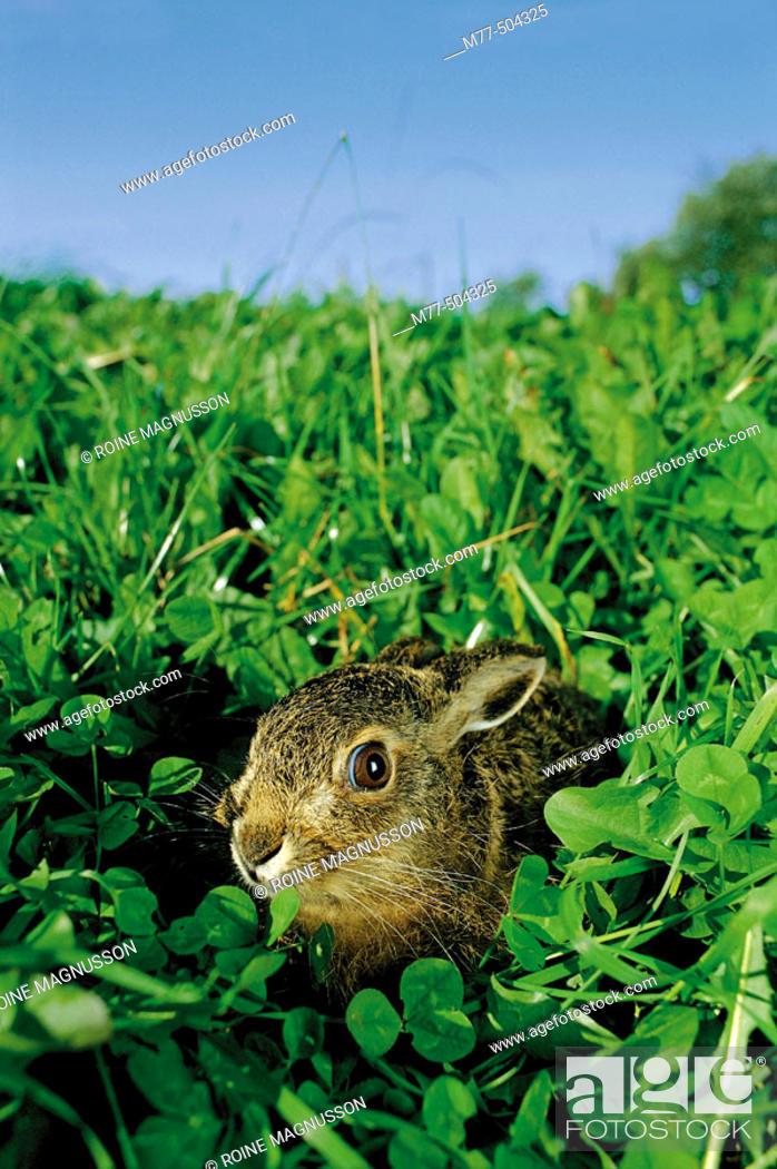 Stock Photo: Hare in the green grass (Lepus europaeus), Båstad. Skåne. Sweden.
