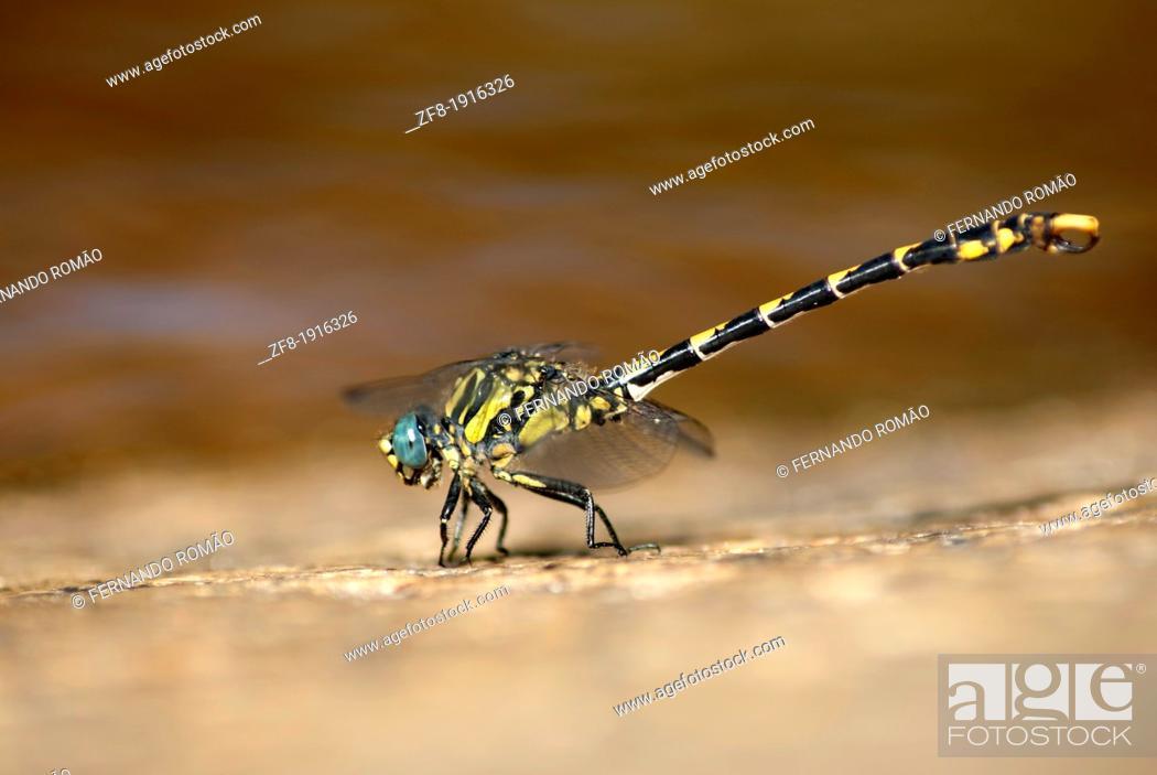 Imagen: Large Pincertail dragonfly near riverside, at Guarda-Portugal.
