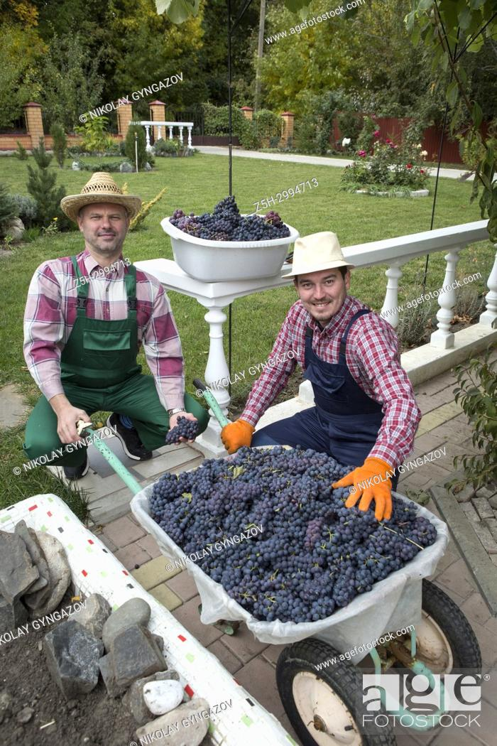 Stock Photo: Two young men gather grapes in the garden. Russia.