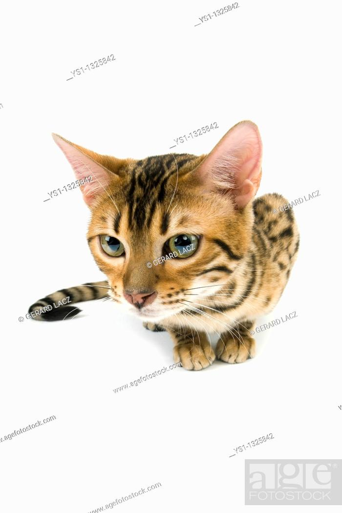 Stock Photo: BROWN SPOTTED TABBY BENGAL DOMESTIC CAT.