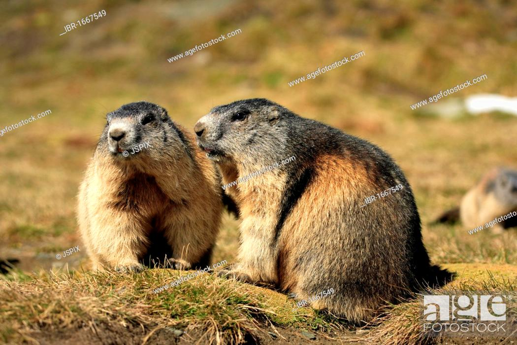 Stock Photo: Alpine Marmot (Marmota marmota), two adults, Grossglockner Mountain Range, Hohe Tauern National Park, Austria, Alps, Europe.