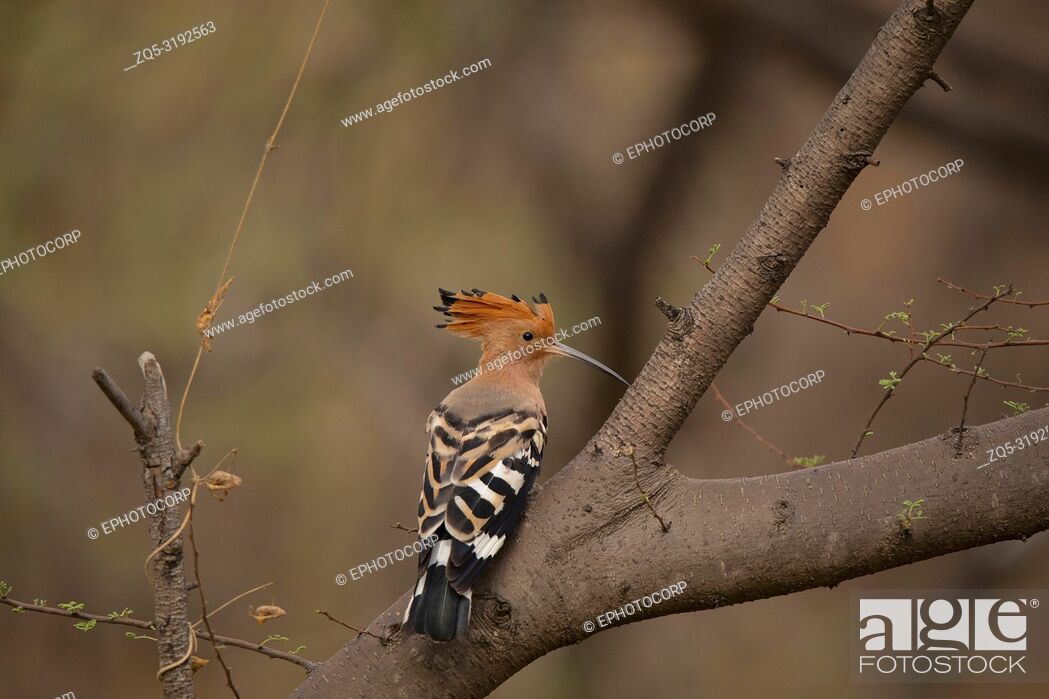 Imagen: Common Hoopoe, Upupa epops, Jhalana, Rajasthan, India. Notable for their distinctive crown of feathers.