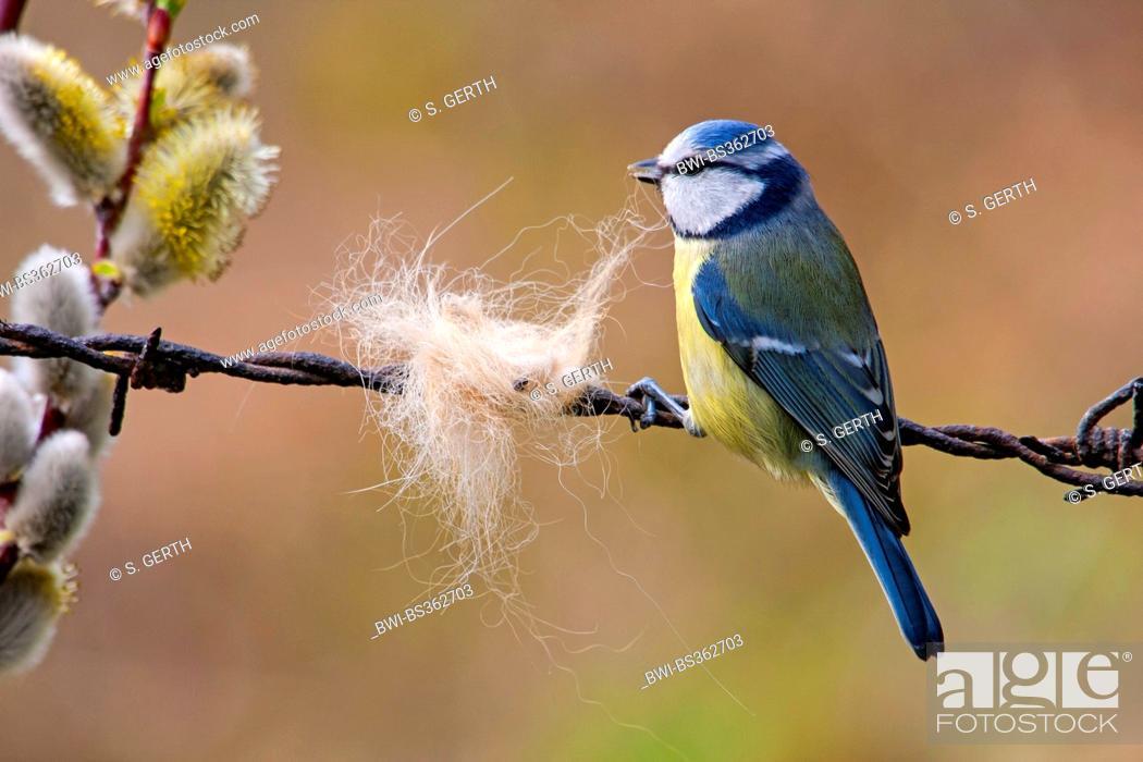 Stock Photo: blue tit (Parus caeruleus, Cyanistes caeruleus), collecting hairs as nesting material, Switzerland, Sankt Gallen, Rheineck.