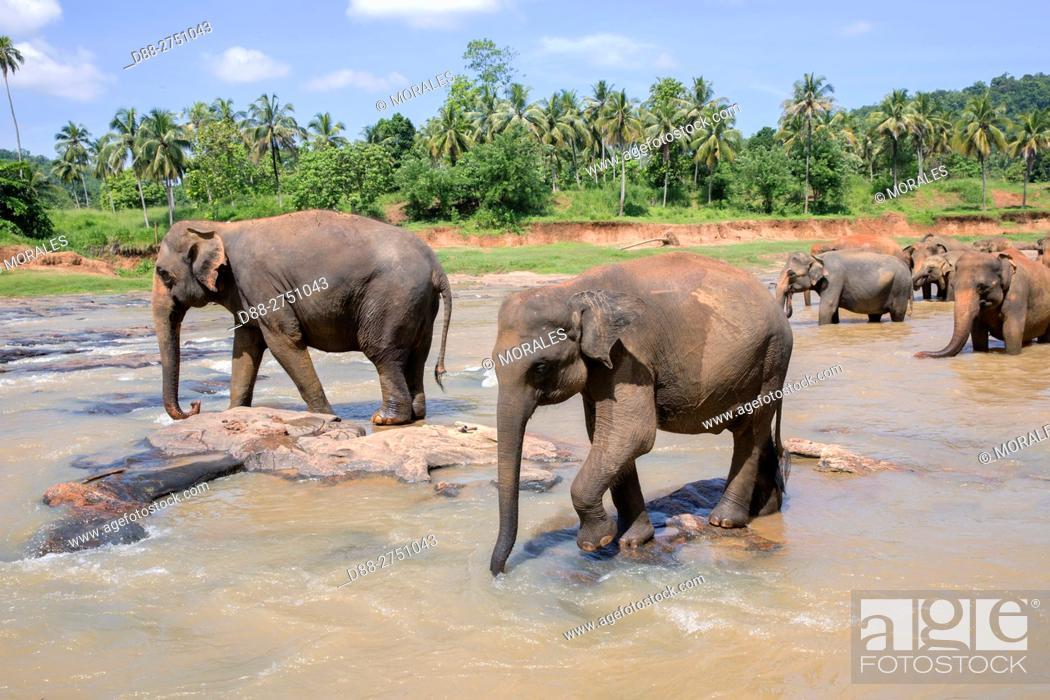 Stock Photo: Sri Lanka, Pinnawala, Sri lankan elephants (Elephas maximus maximus) from Pinnawala Elephant Orphanage bathing in the Maha Oya river with their carers nearby.