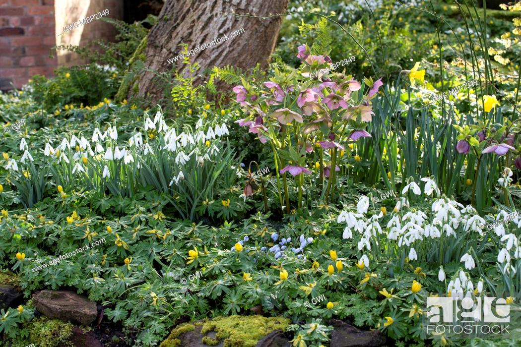 Stock Photo   DIAL PARK WORCESTERSHIRE SPRING BULB GARDEN WITH HELLEBORES  AND SNOWDROPS