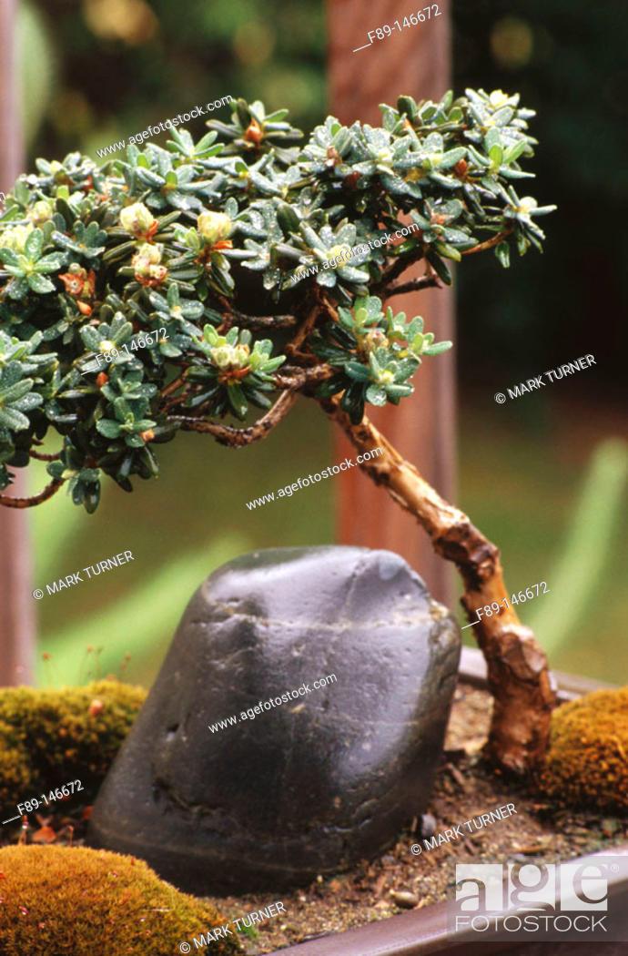 Stock Photo: Bonsai (Rhododendron impeditum).