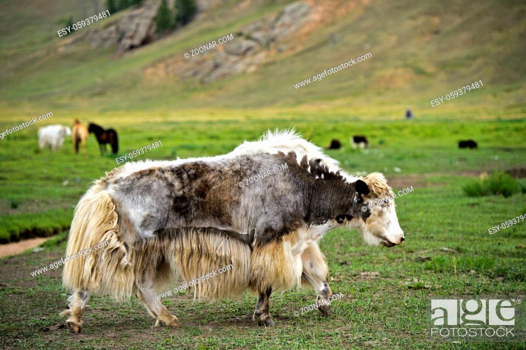 Stock Photo: Mongolisches Yak grast auf der Weide, Mongolei / Mongolian yak grazing on a pasture, Mongolia.