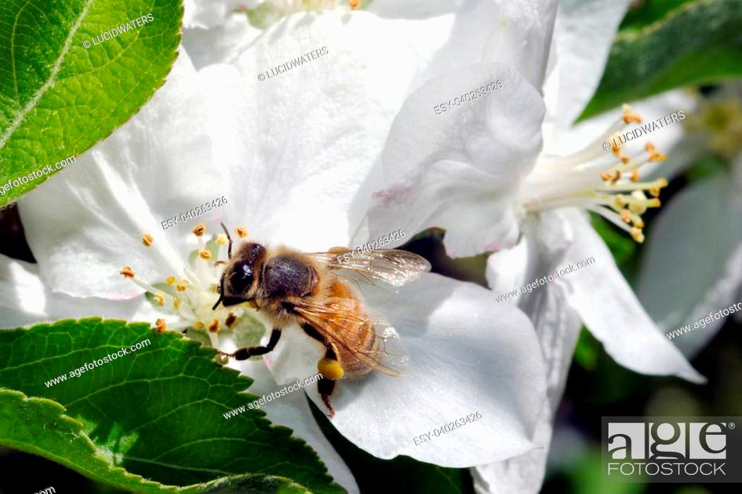 Stock Photo: Bee gathering honey from a flower almond tree.