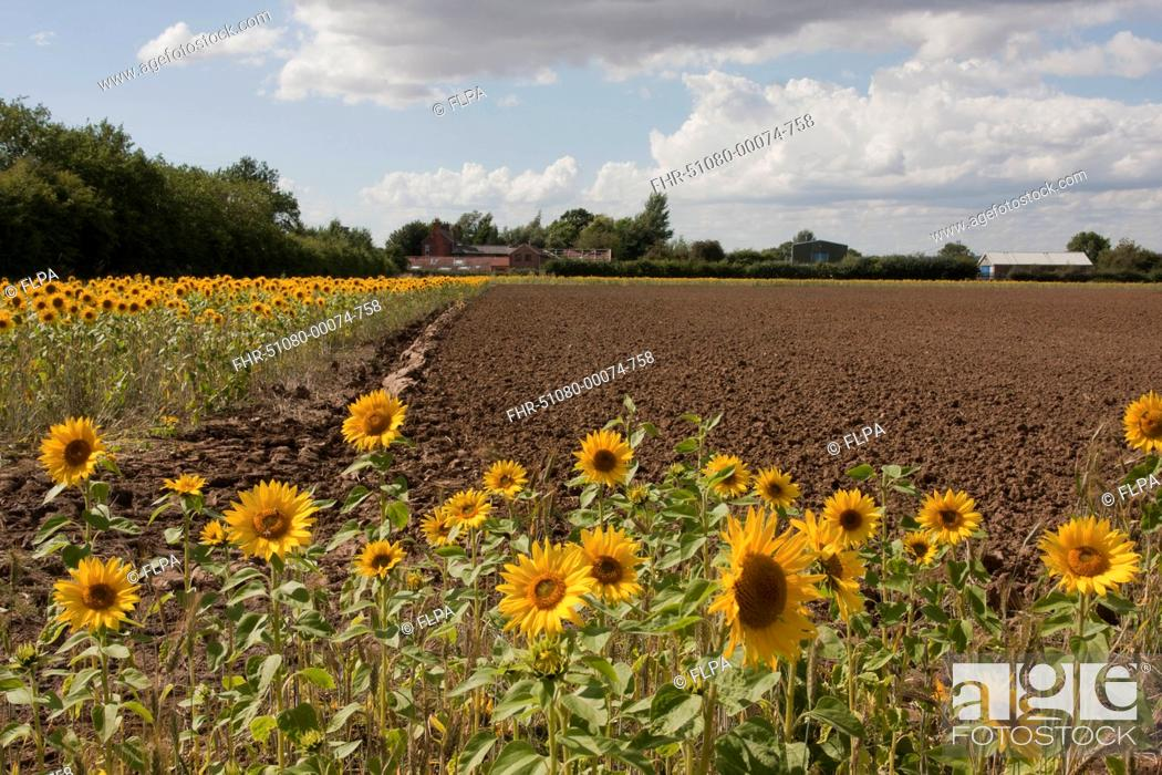 Stock Photo: Sunflower (Helianthus annuus) flowering mass, growing in arable field margin, Barrow upon Humber, Lincolnshire, England, August.