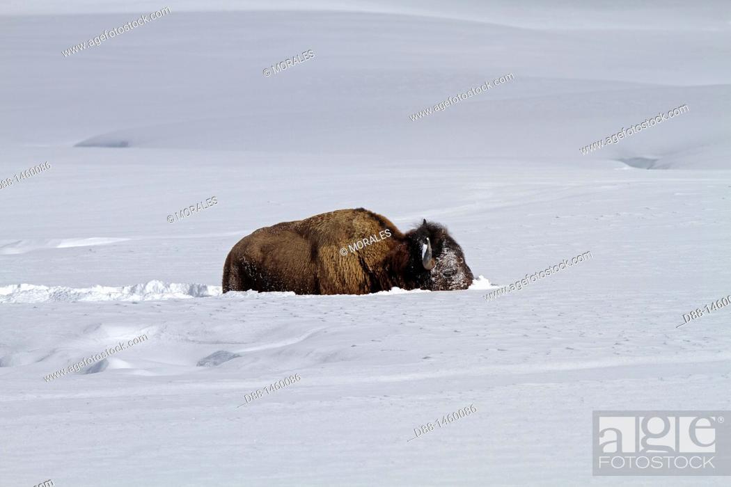 Stock Photo: American Bison (Bison bison), Lamar Valley, Yellowstone National Park, Wyoming-Montana, USA.