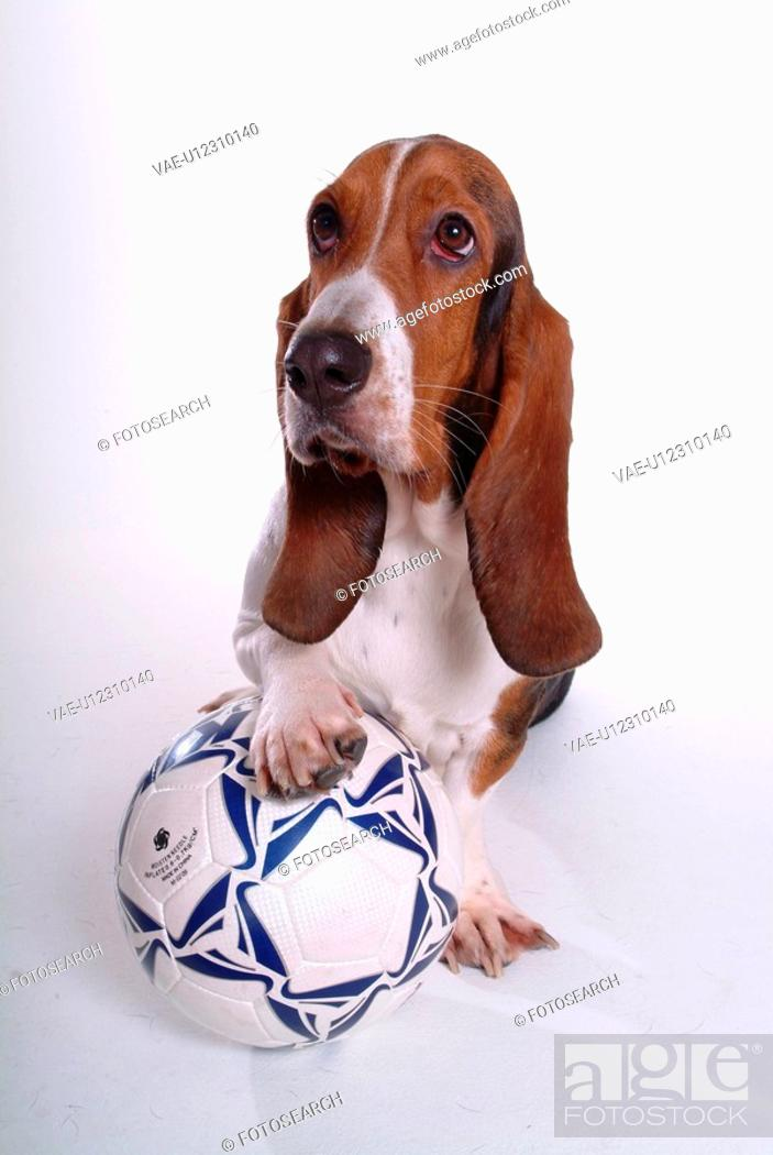 Stock Photo: faithful, domestic animal, companion, canine, close up, basset hound.