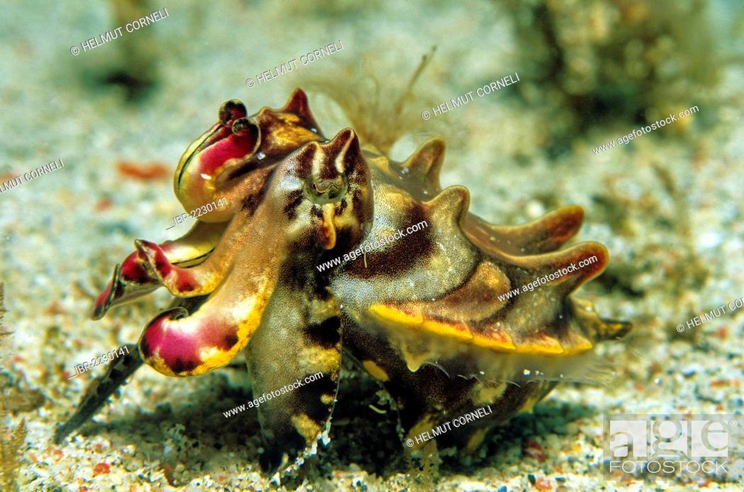 Stock Photo: Pfeffer?s Flamboyant Cuttlefish or Flamboyant cuttlefish (Metasepia pfefferi), Mindoro, Philippines, Asia, Pacific Ocean.