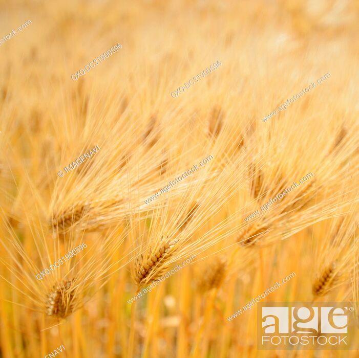 Imagen: Barley Field.