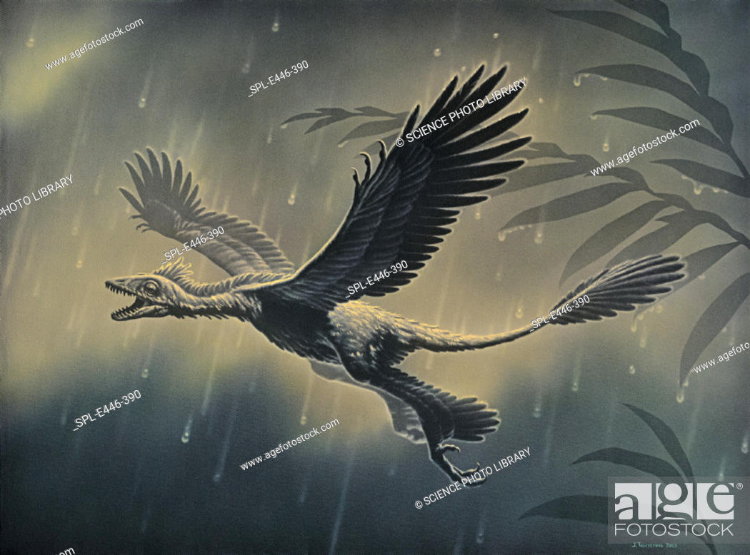Stock Photo: 'Four-winged dinosaur. Artwork of Microraptor gui, a gliding dinosaur with feathers on all four limbs, which lived in the early Cretaceous period about.