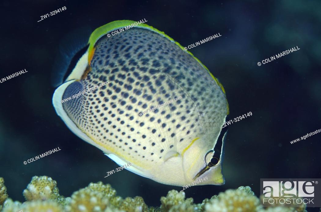 Imagen: Spotted Butterflyfish (Chaetodon guttatissimus), Dropoff dive site, Seraya, near Tulamben, Bali, Indonesia.