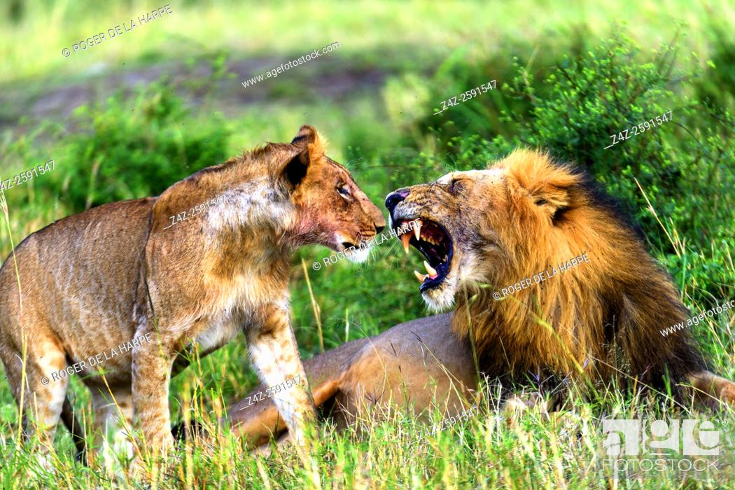 Stock Photo: Lion (Panthera leo) snarling at a juvenile. Serengeti National Park. Tanzania.