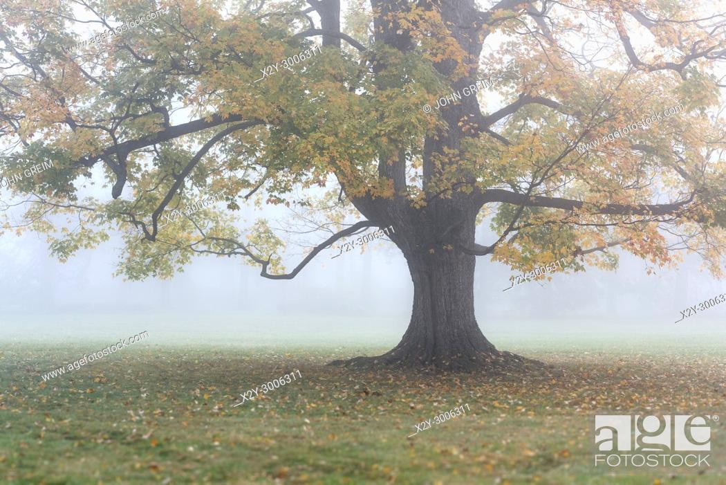 Stock Photo: Soft morning mist envelops a lone autumn tree, New York, USA.