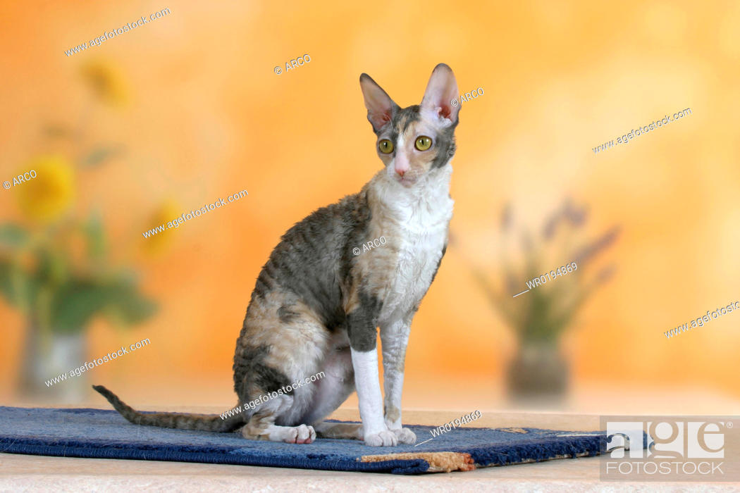 Stock Photo: Cornish, Rex, Cat, bicolor-blue-tortie.