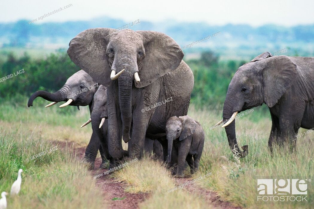 Stock Photo: African Elephant, loxodonta africana, Female with Calf, Masai Mara park in Kenya.