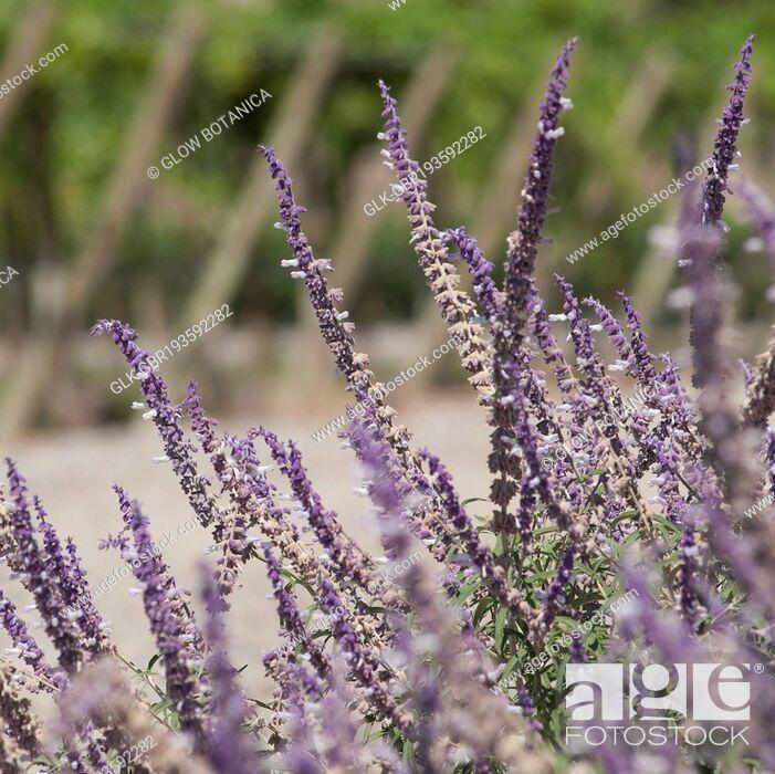 Stock Photo: Salvia plants in a field, Fatima Valley, Chilecito, La Rioja Province, Argentina.