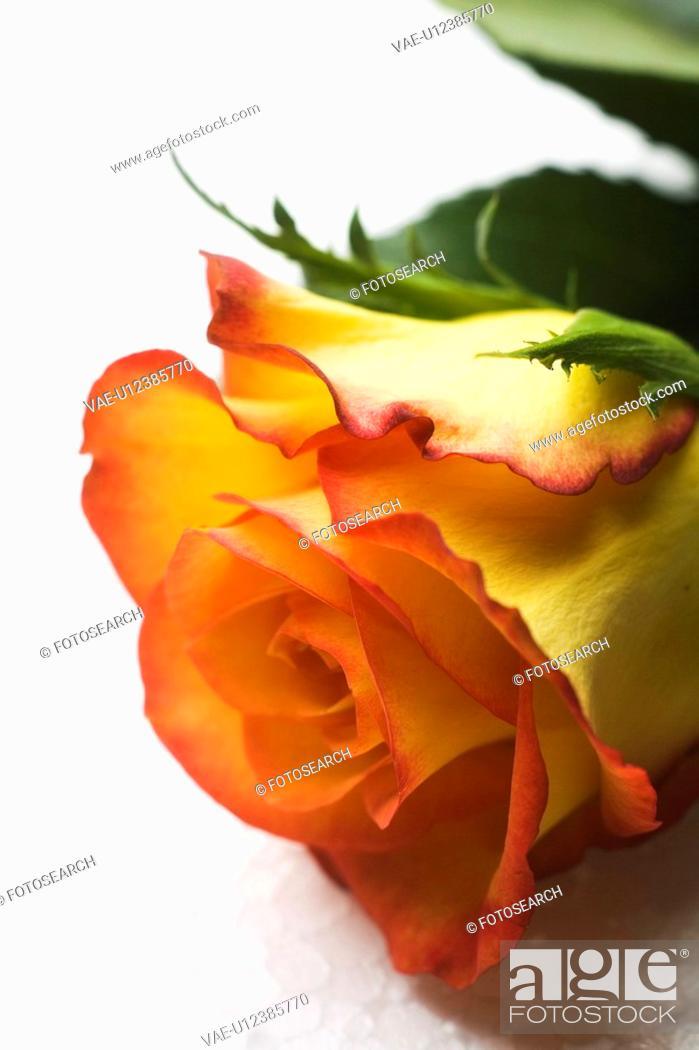 Stock Photo: Bloom, Flower, Petal, One Flower.