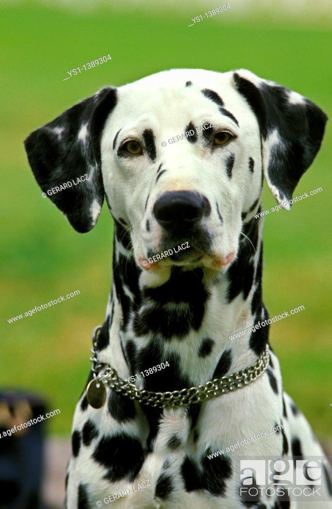 Stock Photo: Dalmatian Dog, Portrait of Adult with Collar.