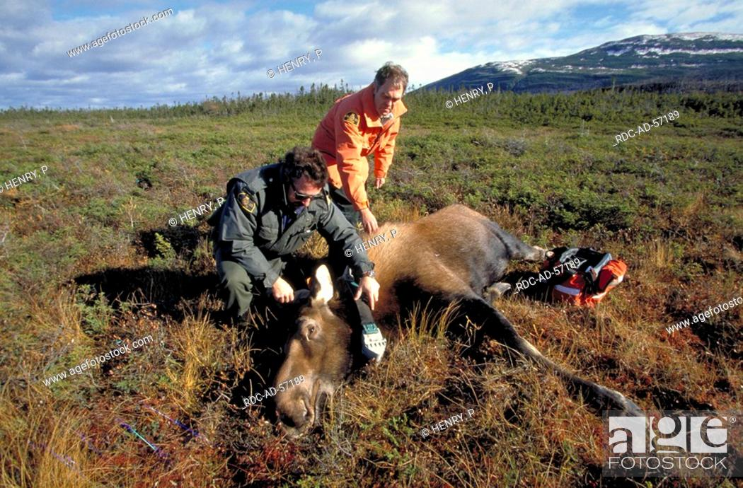 Stock Photo: Biologists putting radio collar on sedated Moose cow Gros Morne national park Newfoundland Canada Alces alces.