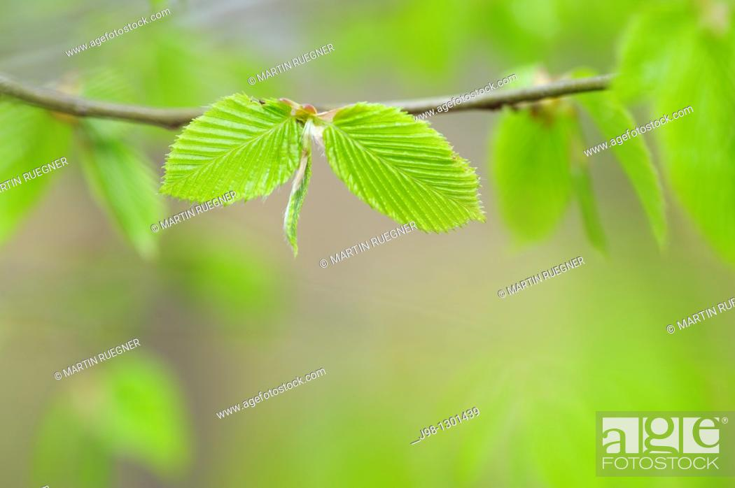 Stock Photo: Common hornbeam Carpinus betulus branch with fresh leaves in spring  Bavaria, Germany, Europe.