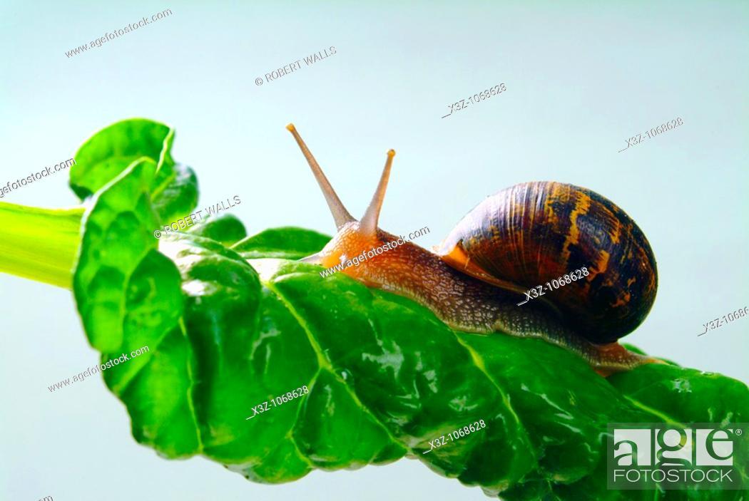 Stock Photo: Snail on a chard leaf.