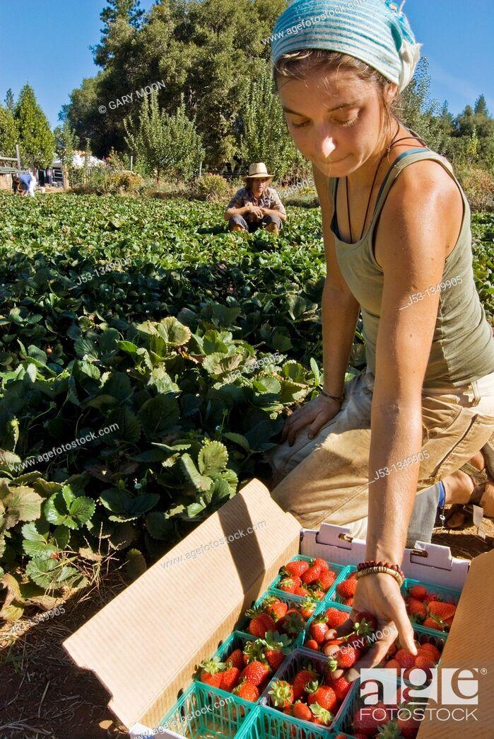 Stock Photo: Young woman picking organic strawberries on small organic farm, Nevada City, California.