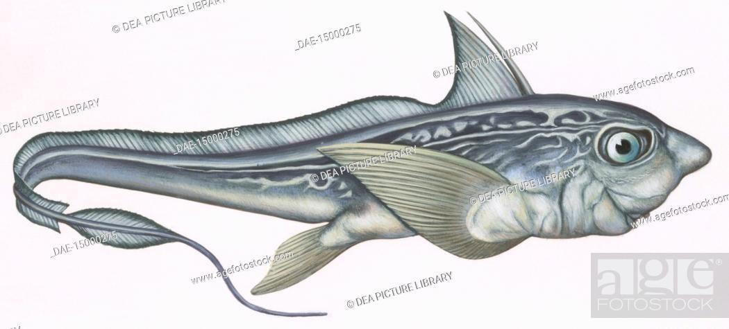 Rabbitfish chimaera