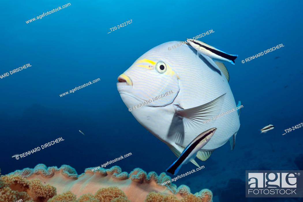 Stock Photo: Elongate Surgeonfish cleaned by Cleaner Wrasse, Acanthurus mata, Great Barrier Reef, Australia.