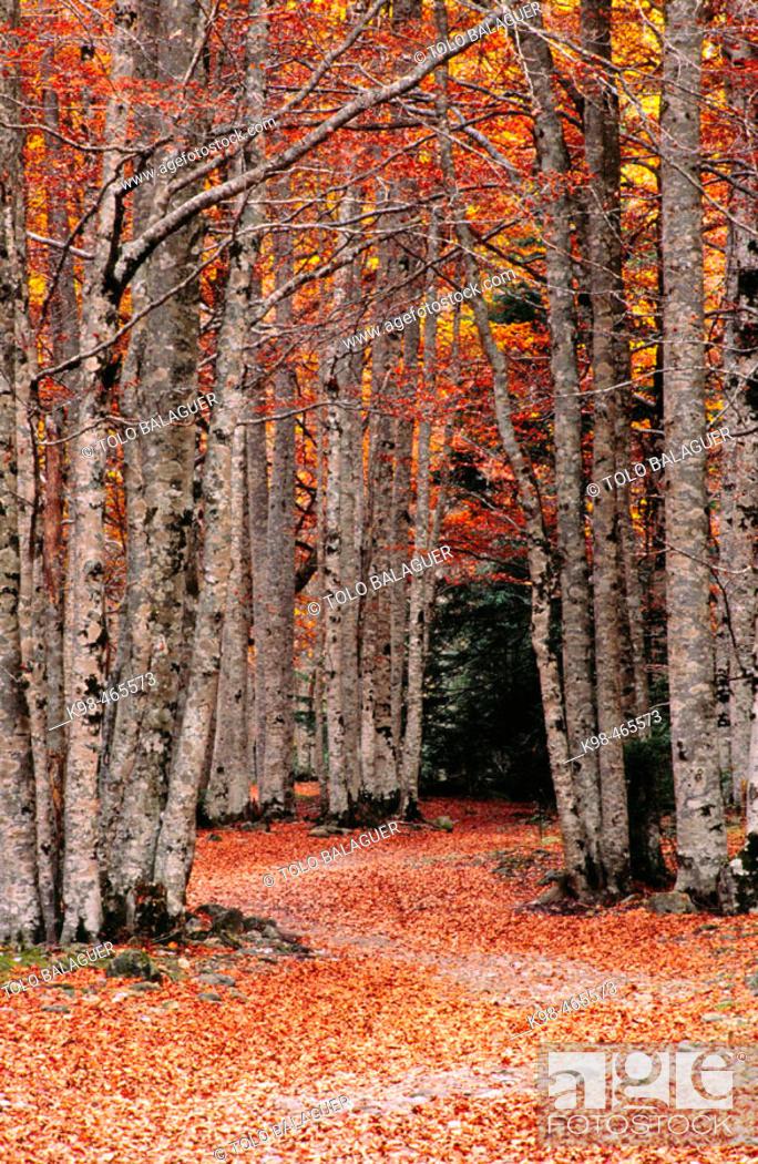 Stock Photo: Beechwood (Fagus Sylvatica). Añisclo Valley. Ordesa NP and Monte Perdido. Pyrenees. Huesca province. Aragon. Spain.