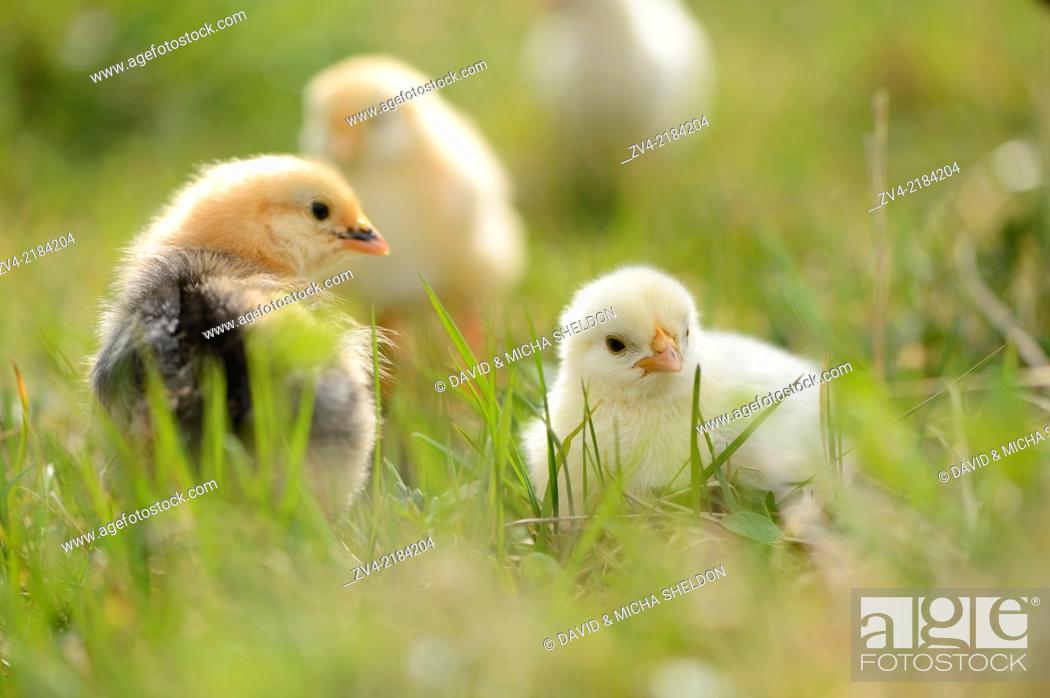 Stock Photo: Close-up of chicken (Gallus gallus domesticus) chicks on a meadow in spring.