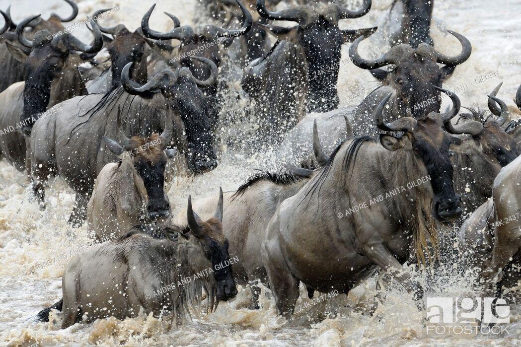Stock Photo: Herd of Blue Wildebeest (Connochaetes taurinus) crossing the Mara River, Serengeti national park, Tanzania.