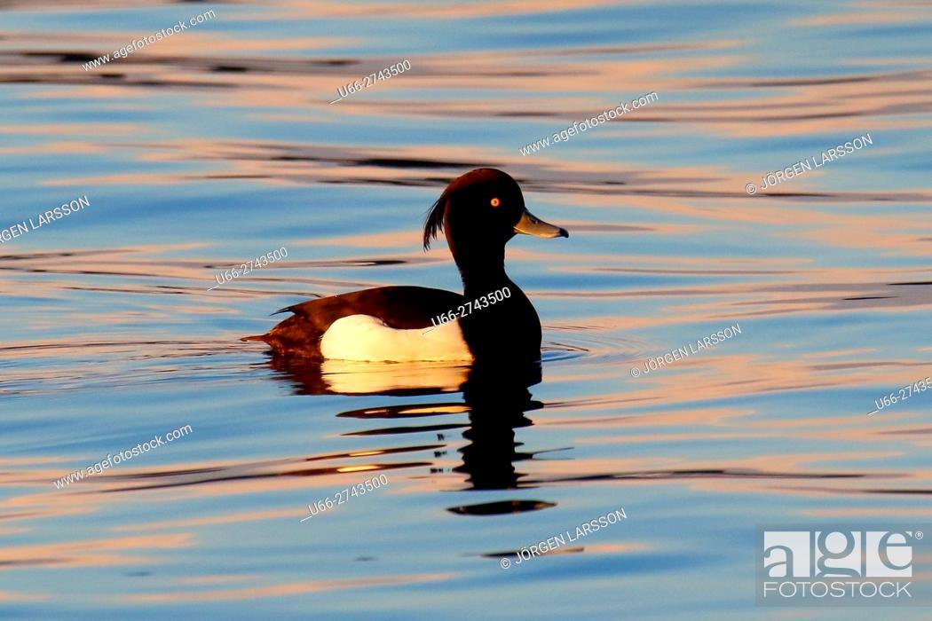 Stock Photo: Tufted Duck (Aythya fuligula), Botkyrka, Sweden.