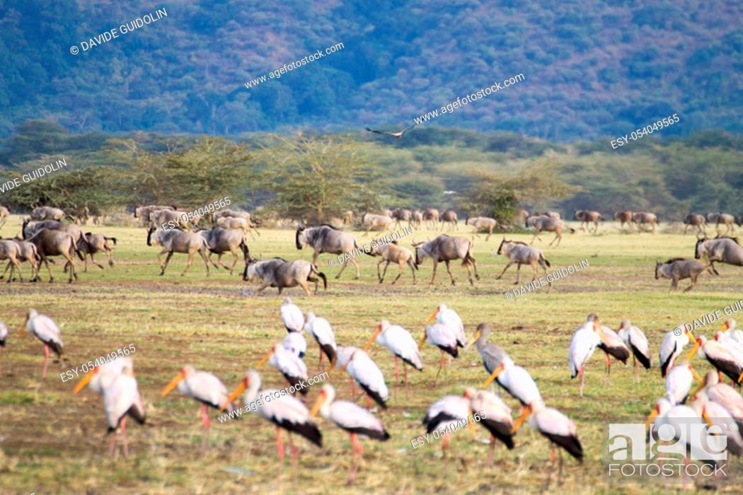 Stock Photo: Wildebeest herd with birds in foreground, Lake Manyara, Tanzania. African safari. Africa.