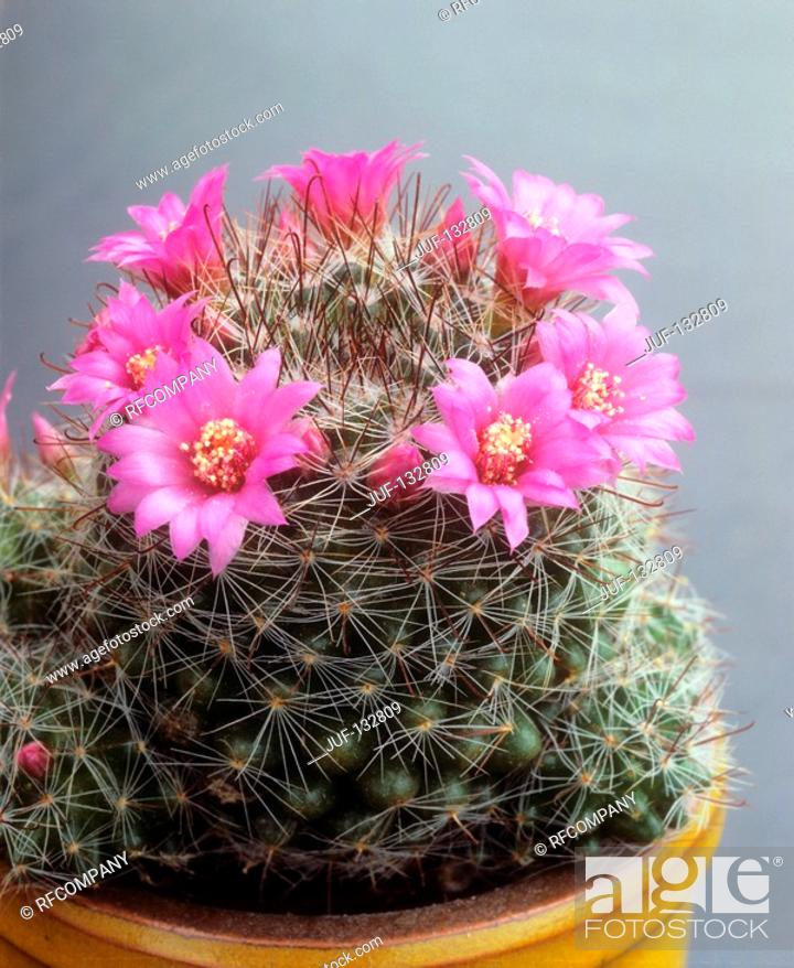 Stock Photo: nipple cactus / Mammillaria zeilmanniana.