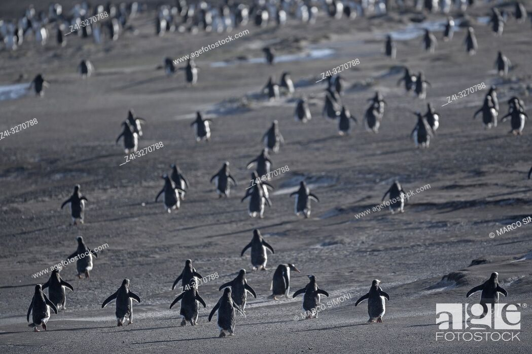 Stock Photo: Gentoo Penguins (Pygocelis papua papua) walking, Falkland Islands, South Atlantic, South America.